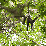 Pileated Gibbon (Hylobates pileatus) male hanging around in Khao Yai national park, Thailand
