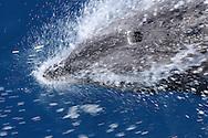 Bottlenose Dolphin (Tursiops truncatus), Galapagos, Ecuador.