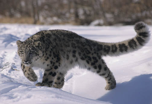 Snow Leopard (Panthera uncia).  Snow leopars inhabit the Himalayas of Asia.  Captive Animal.