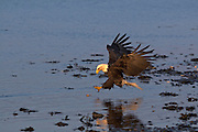 Bald Eagle, Haliaeetus leucocephalus, catching fish, Kenai Peninsula, Homer Spit, Homer, Alaska. Digital original, #2006_1506 ©Robin Brandt