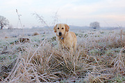 A golden retriever puppy lifts his head to look at the camera whilst playing in the frosty grass.