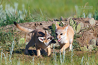 Swift fox pups playing near the den, southern Saskatchewan, Canada