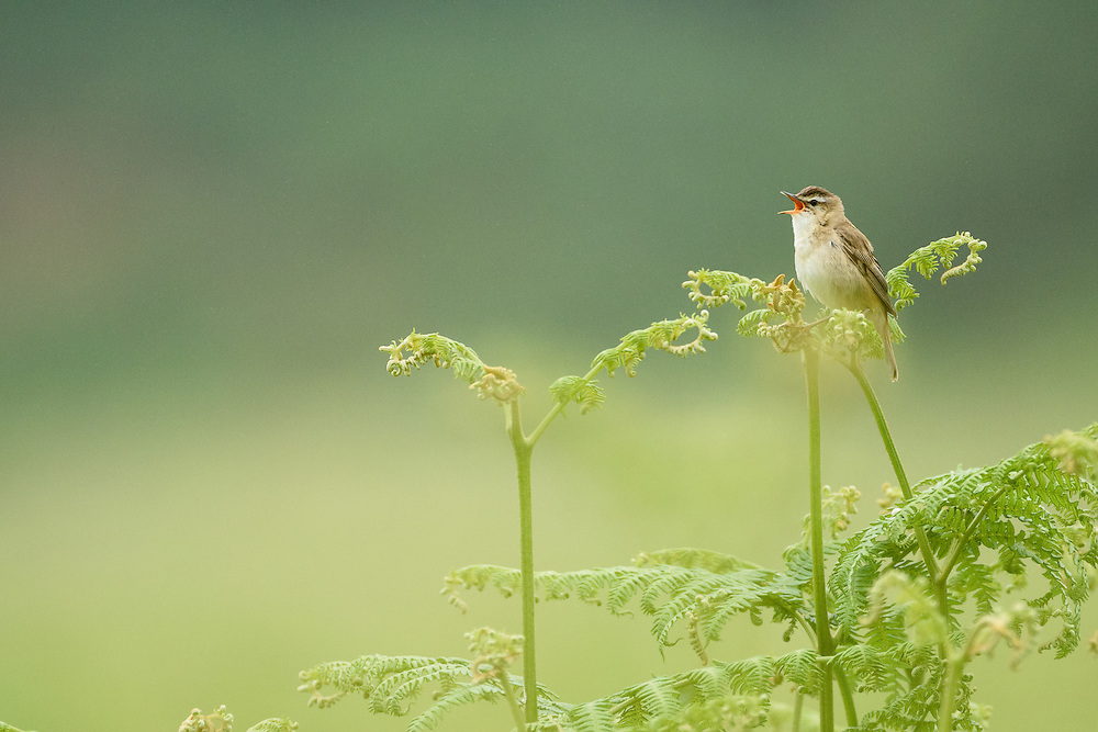 Sedge warbler singing, Islay, Scotland