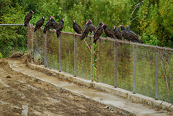 Turkey Vultures (Cathartes aura) sitting on a woven wire fence near a construction zone.