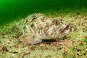 A Lingcod, Ophiodon elongatus, rests on the rocky bottom offshore Nanaimo in Vancouver Island, British Columbia, Canada