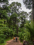 On the forested trail to Mirador Castaño Overo and Otto Meiling Refuge, at the base of Cerro Tronador, in Nahuel Huapi National Park, Lake District of Argentina, southern Andes, Patagonia, South America.