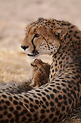 Cheetah mother and cub. Botswana