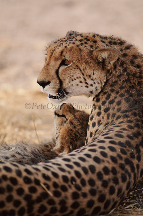 Cheetah mother and cub. Botswana