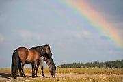 Two Bachelor Wild Mustangs, Pryor Mountains, Montana