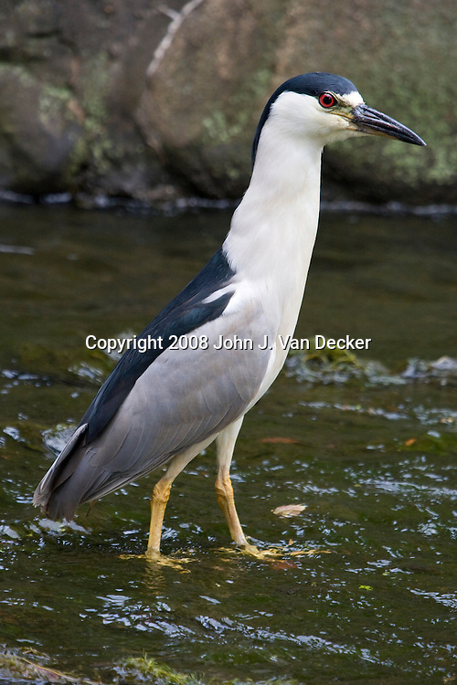Black-crowned Night-heron walking in a shallow stream