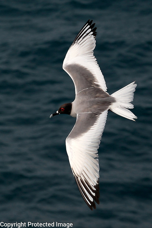 A swallow-tailed gull wings over the ocean on South Plaza Island in the Galapagos. Strangely, this gull forages at night and their white forms appeared quite eery and ghost-like as they plunge into the ocean in the darkness.