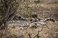 Cheetah in the Masai mara, Kenya.