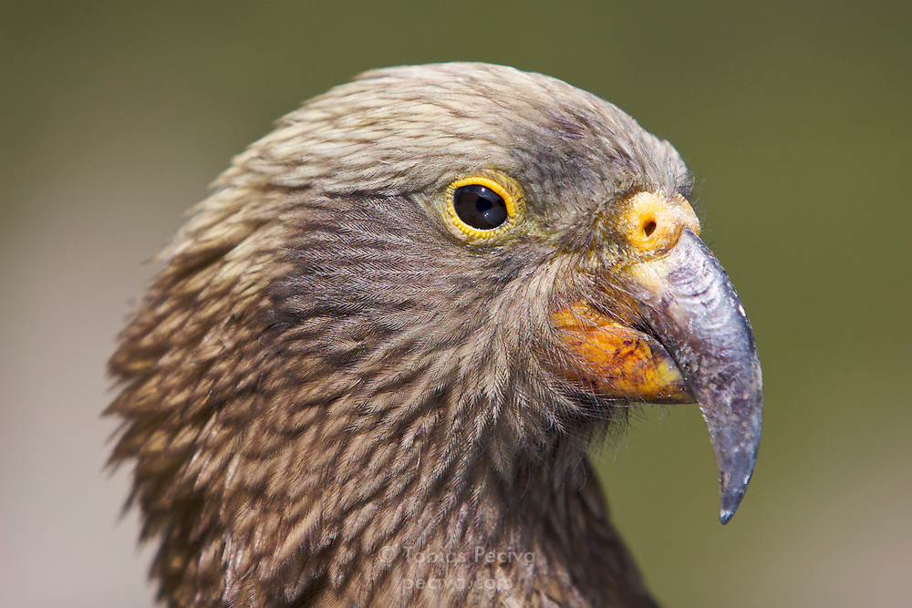 Portrait of a Kea in Arthur's Pass, New Zealand.