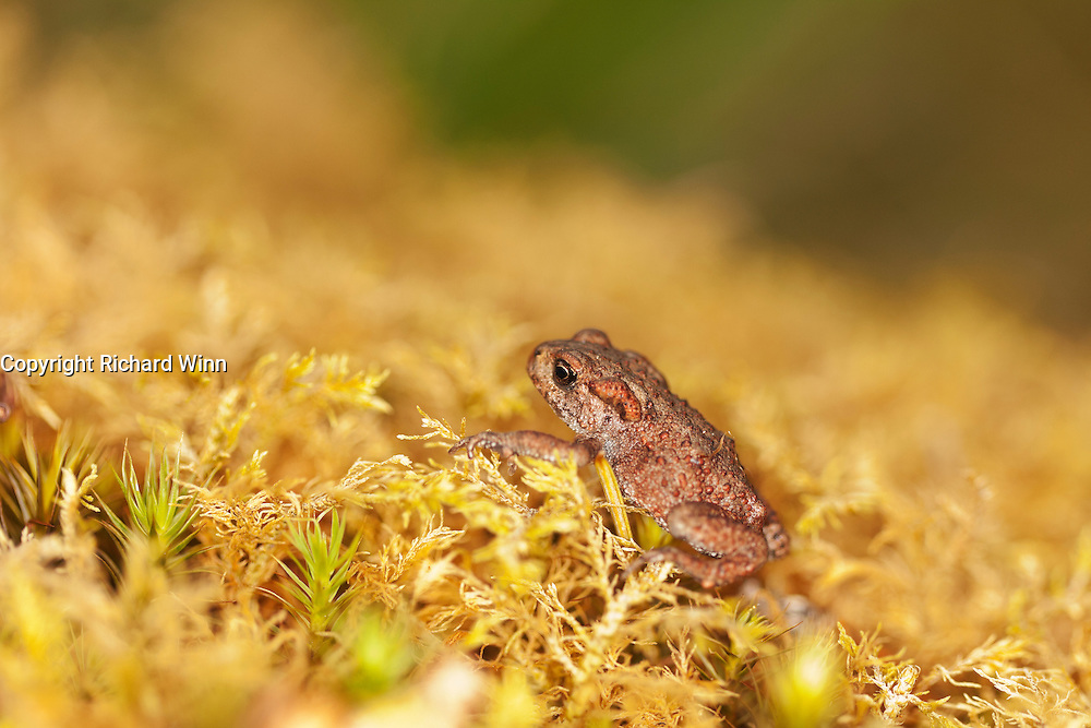 Side three-quarter view of a toadlet of the common toad, resting on moss.