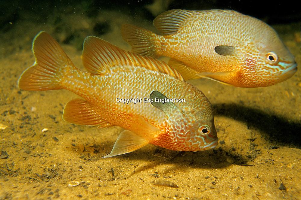 Longear Sunfish<br /> <br /> ENGBRETSON UNDERWATER PHOTO