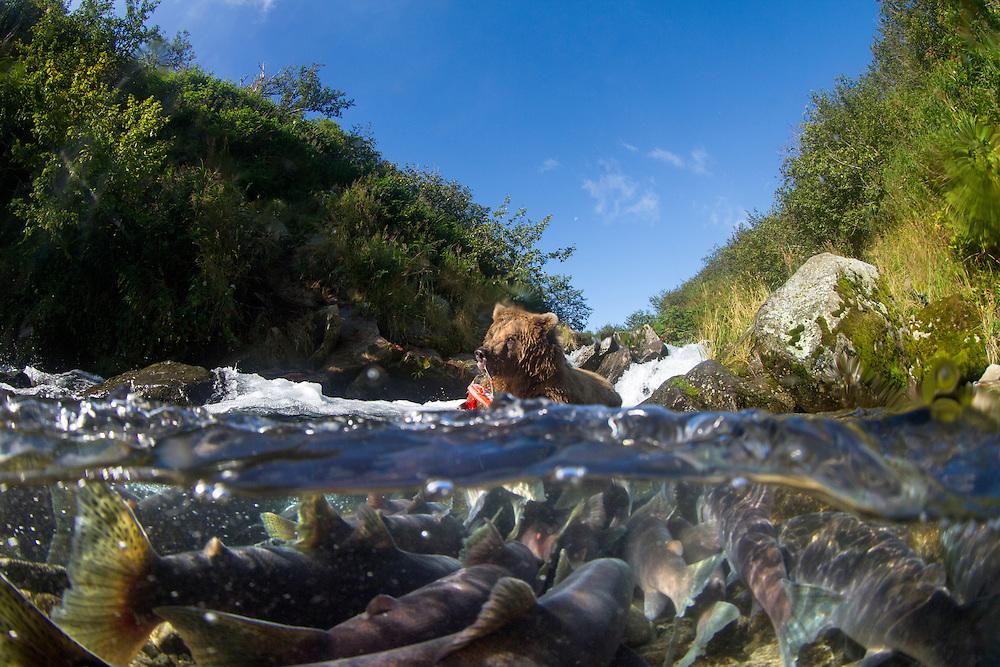 USA, Alaska, Katmai National Park, Close-up of Coastal Brown Bear (Ursus arctos) fishing for spawning Red Salmon in river's shallow pool