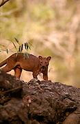 Fossa male, Kirindy Forest, Madagascar
