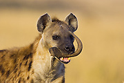 Spotted Hyena<br /> Crocuta crocuta<br /> Female carrying wildebeest horn<br /> Masai Mara Conservancy, Kenya