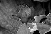Infrared processed lotus flower bud peeping out from the lotus leaves.