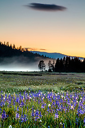 """Sagehen Meadows Sunrise 5"" - Photograph of the camas wildflowers shot at sunrise at Sagehen Meadows."