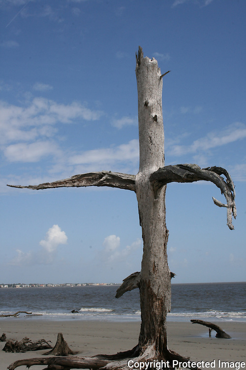 Cross shaped petrified tree on Driftwood Beach, Jekyll Island
