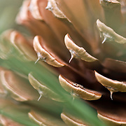 Pitch Pine Cone