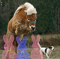 miniature horse jumping
