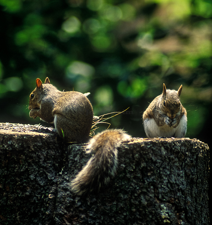 Two squirrels eating on a tree stump.