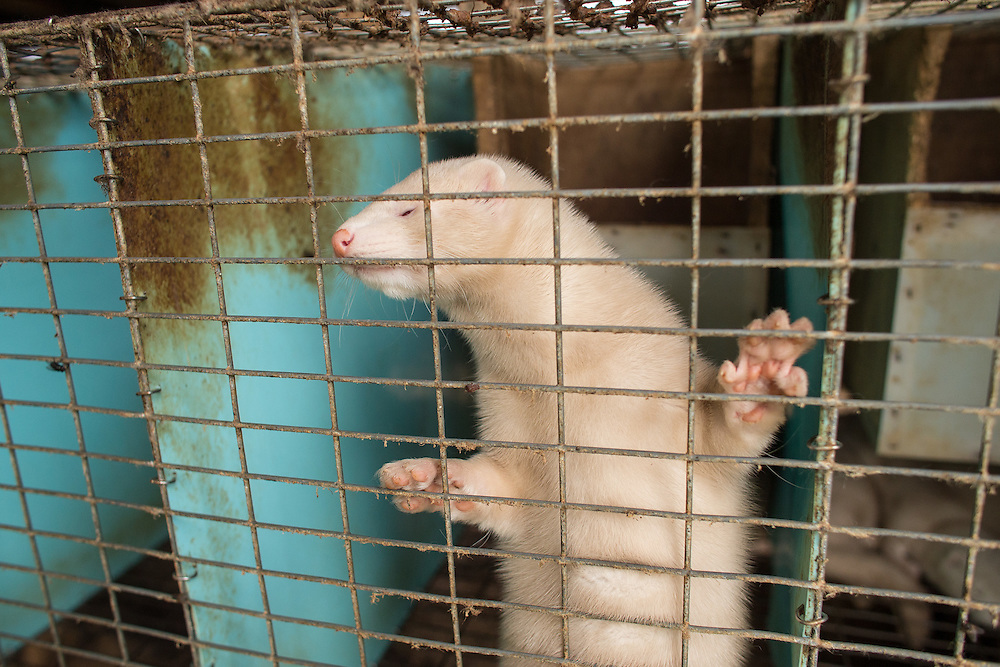 A mink looks through it's cage at R B R Fur Farms Ltd near St. Mary's Ontario, Tuesday, August 4, 2015. Intruders broke into the property on July 7, 2015 and released over 6000 mink . Several other area fur producers have also experienced similar break ins.<br /> Farmers Forum/ Geoff Robins