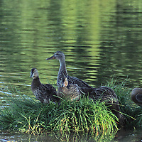 Duck with Ducklings<br /> Wyoming