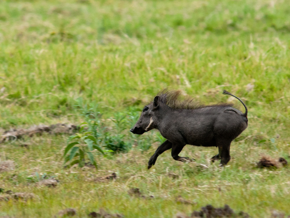 The Running Warthog - Ngiri (Pumba)