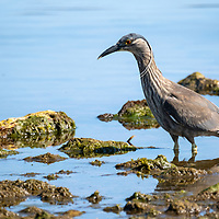 A black-crowned night heron (Nycticorax nycticorax) hunts for fish along the shoreline in Stanley, East Falkland Island, Falkland Islands.