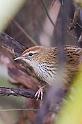 Fernbird, endemic, New Zealand