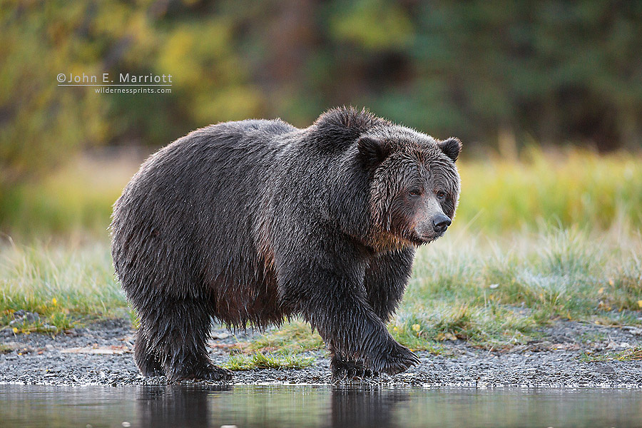 """""""Big Momma"""" - grizzly bear"""