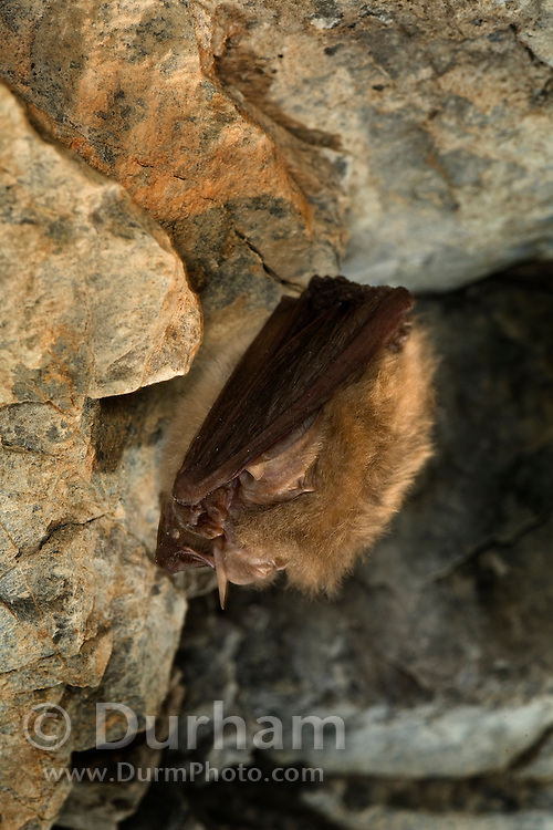 WIth its ears curled backward, and its face tucked inbetween its wings, a townsend's big-eared bat (Corynorhinus townsendii) is in a state of torpor in the abandoned Gold Stake Mine. As cool Fall weather turns frigid, the bat will go into full hibenation and spend the winter inside the mine. Coleville National Forest, Washington.