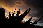 A sunset silhouettes pricly pear cactus, Tucson, Arizona, Sonoran Desert, USA.