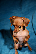 Flash, mascot of www.thepetphotographer.com made a visual statement  on Jan 7., 2007...PHOTO COPYRIGHT 2007 LANCE CHEUNG.This photograph is NOT within the public domain..This photograph is not to downloaded, stored, manipulated, printed or distributed with out the written permission from the photographer. .This photograph (on this web site) is protected under domestic and international laws.<br />