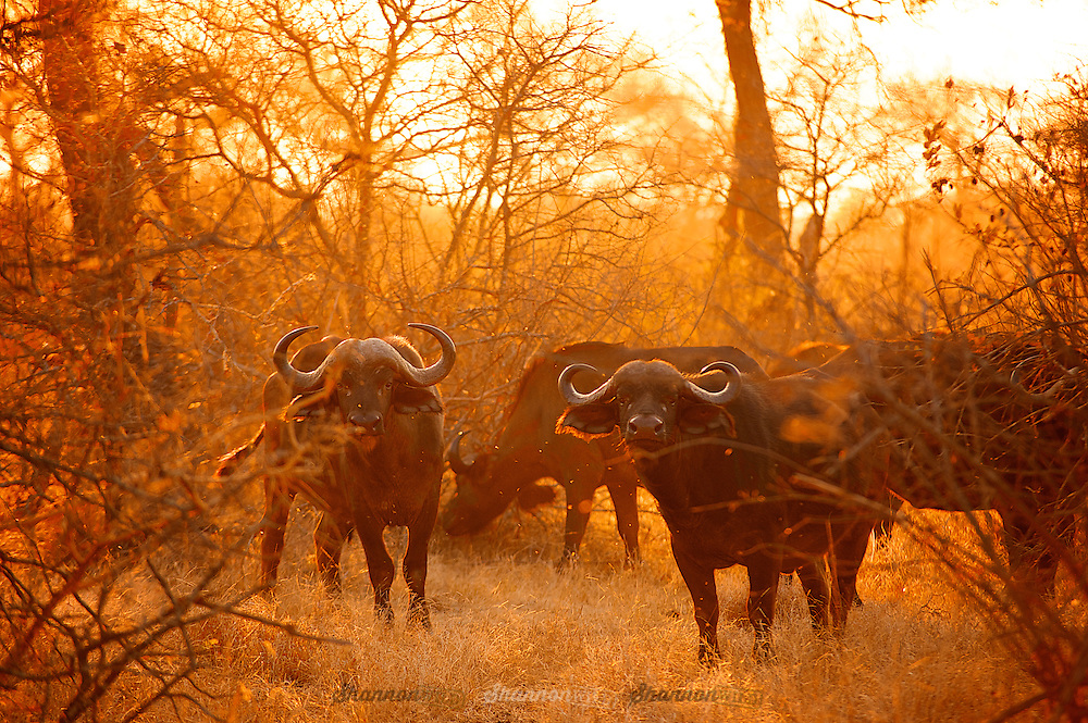 The African buffalo or Cape buffalo, is a large African bovine. It is not closely related to the slightly larger wild Asian water buffalo, and its ancestry remains unclear.