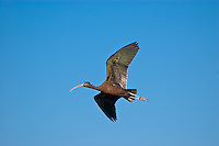 Glossy ibis in flight at the St. Marks National Wildlife Refuge.