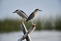 Two Black-crowned night heron (Nycticorax nycticorax) perched on a post in Lake Chapala - Ajijic, Jalisco, Mexico