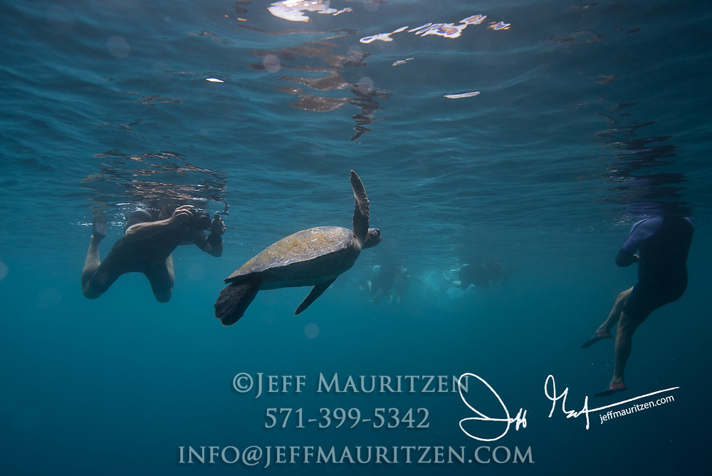 A Galapagos green sea turtle swims with tourists off the coast of Isabela island, part of the Galapagos islands of Ecuador.