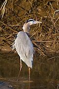Blue Heron wading.<br /> -Savannah, GA U.S.A