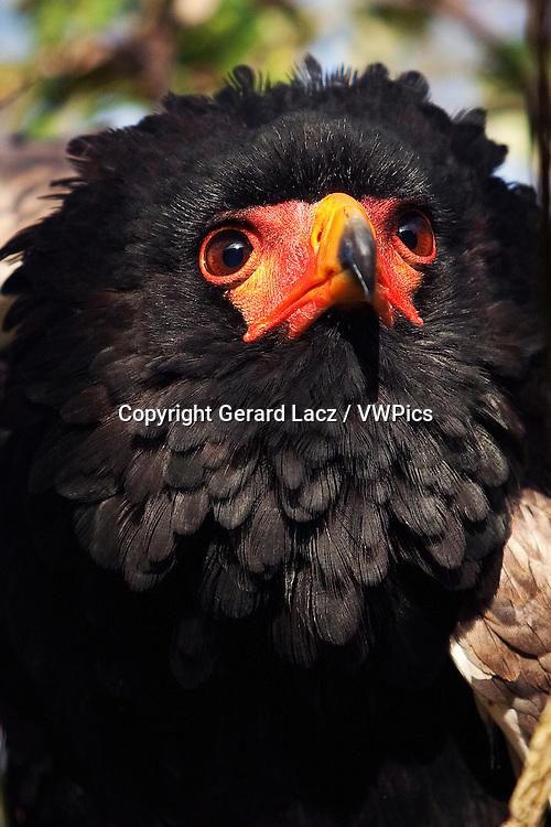 BATELEUR EAGLE terathopius ecaudatus, PORTRAIT OF ADULT