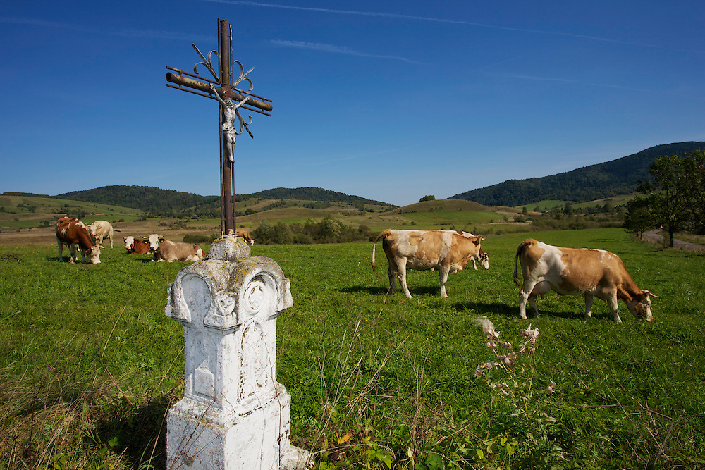 Herd of domestic cows close to Lipie. Mountains in the background are in Urkaine. Ustrzyki Dolne, Poland.