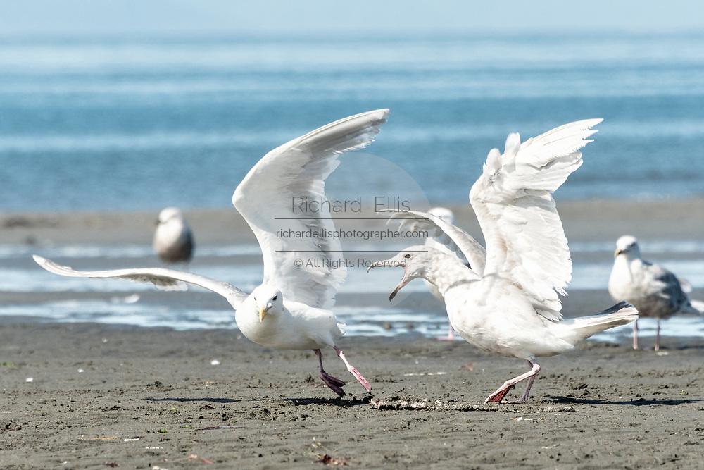 Glaucous Gulls fight over fish scraps after a bald eagle left it behind on the beach at Anchor Point, Alaska.