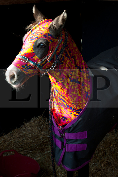 © Licensed to London News Pictures. 19/10/2019. Llanelwedd, Powys, Wales, UK. Ponies get ready for the bidding which starts at 1100 am on the first day of the 66th Fayre Oaks Pony Sale, held by Brightwell auctioneers at the Royal Welsh Showground, Llanelwedd in Powys, UK. The Fayre Oaks Pony Sale is the largest Sale in the World of registered Welsh Mountain Ponies Section A, Welsh Ponies Section B and their Part Breds. Photo credit: Graham M. Lawrence/LNP