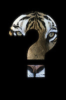 Tiger in question mark over black background