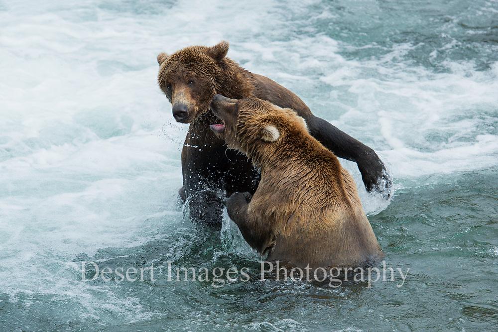 Coastal Brown Bear<br /> Katmai National Park, Alaska