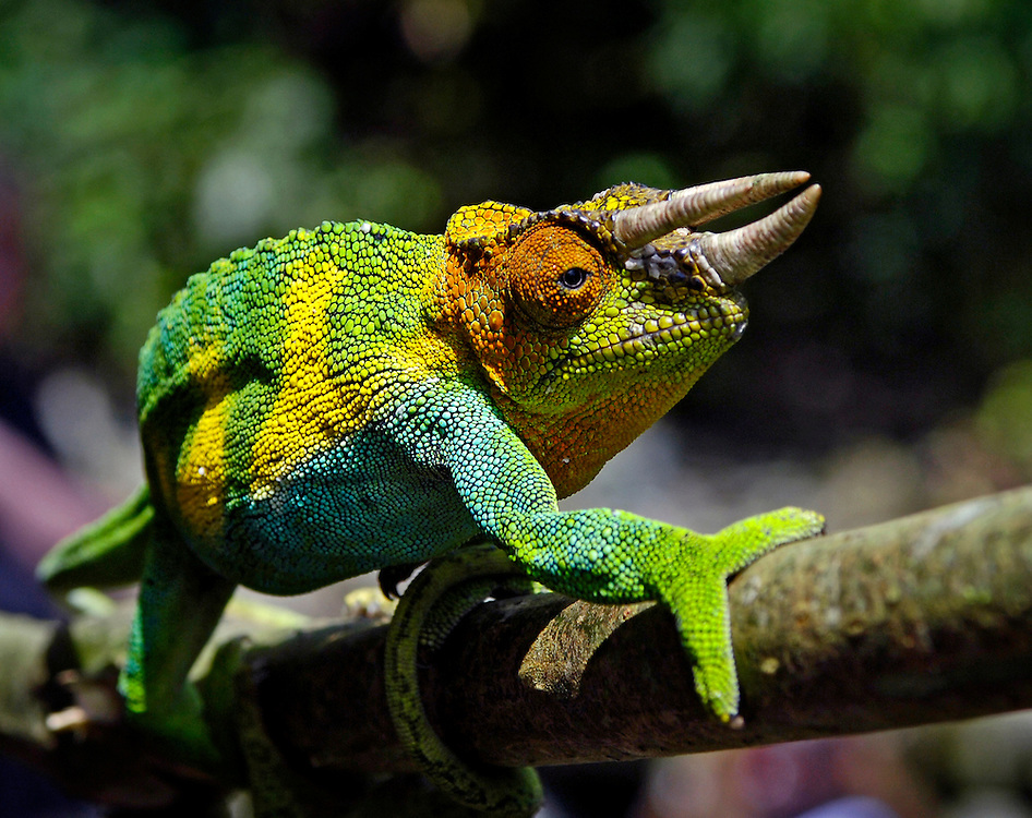 Johnston's Chameleon (Chamaeleo Johnstoni)