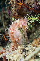 Thorny seahorses are one of the many 'muck critters' to be found in Ambon Bay.